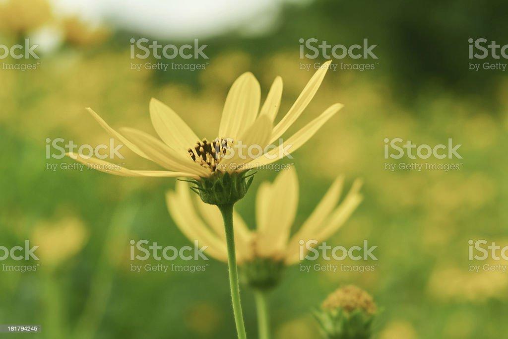 jerusalem artichokes sunflower royalty-free stock photo
