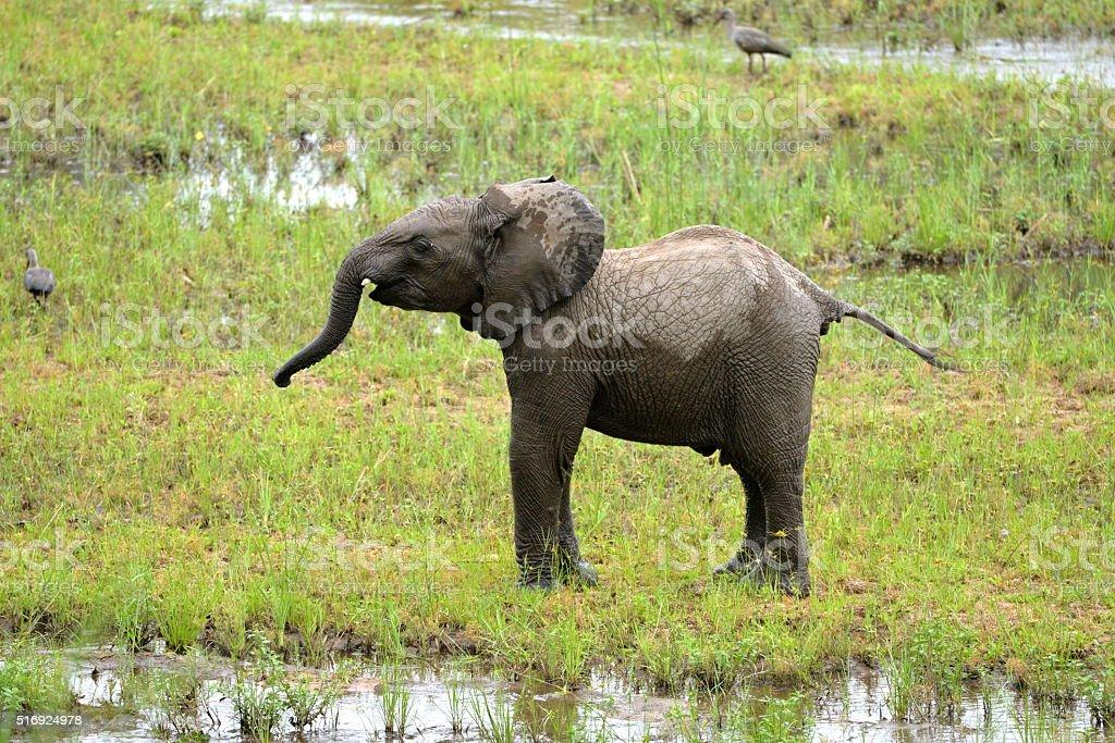 Jeune éléphant dans le marais stock photo