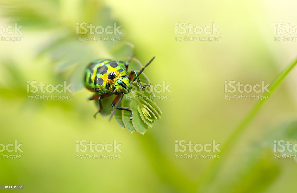 Jewel Beetle In Green Nature royalty-free stock photo