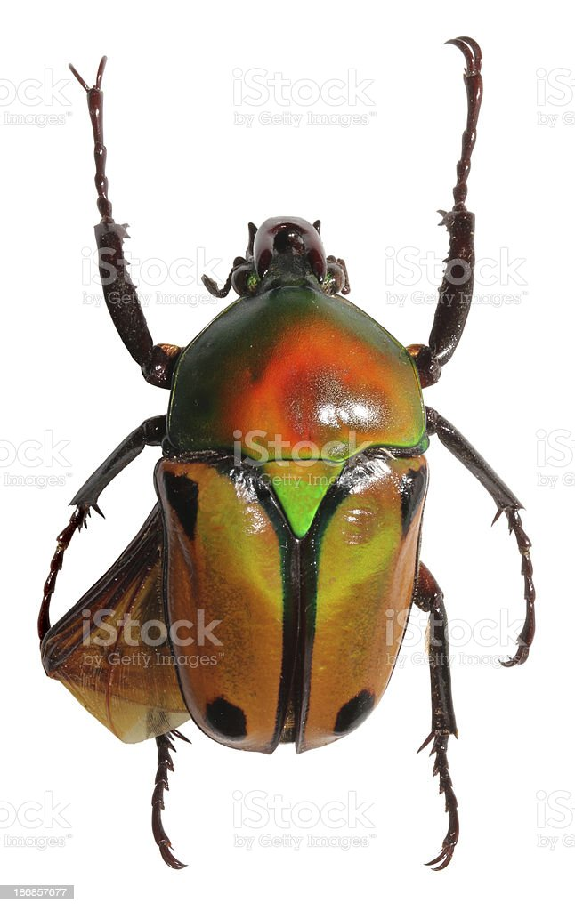 A Jewel beetle isolated on a white background. stock photo