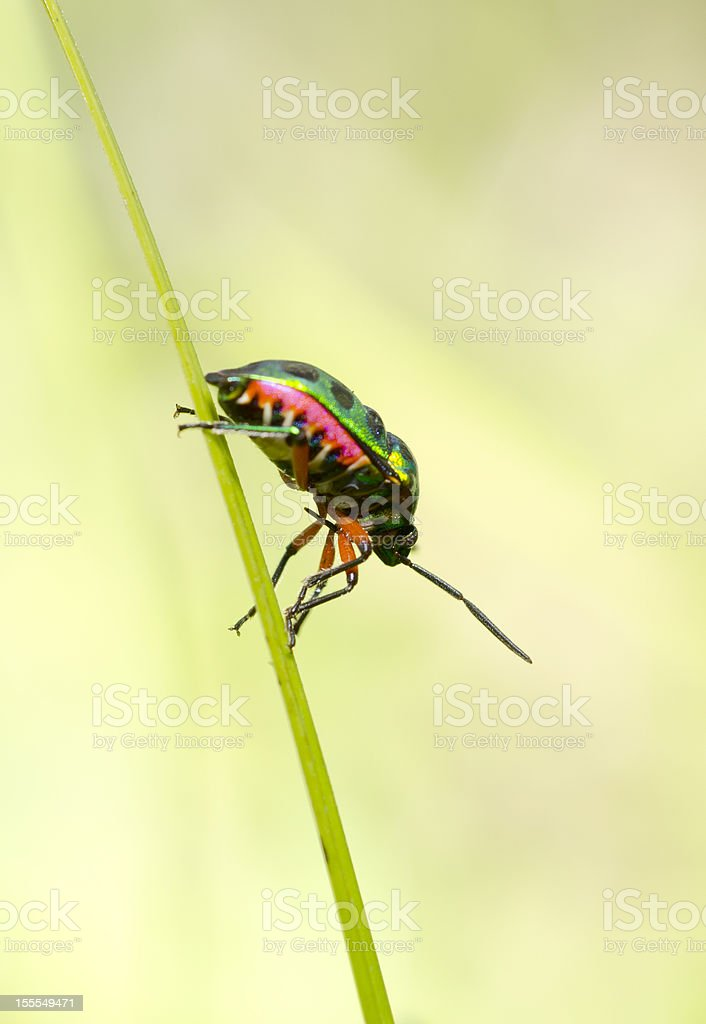Jewel Beetle On The Grass royalty-free stock photo