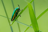 Jewel beetle1