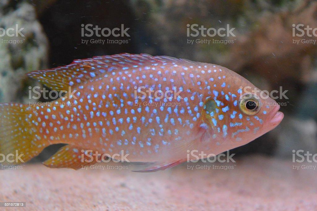 Jewel Fish stock photo