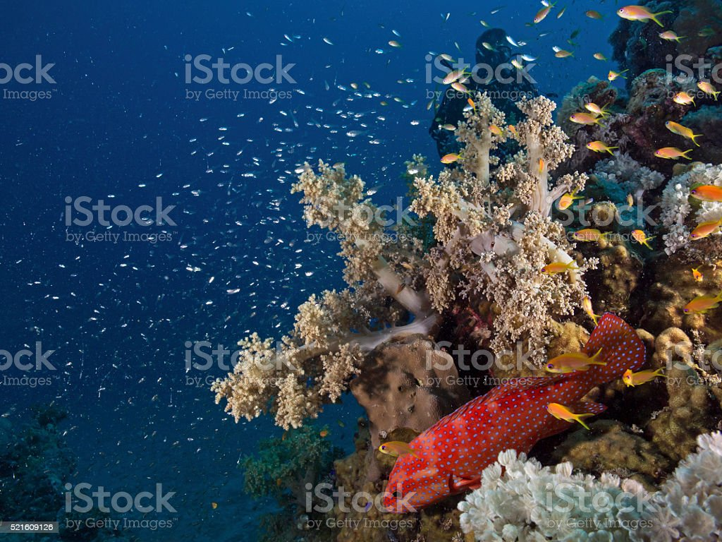 Jewel grouper below a soft coral stock photo