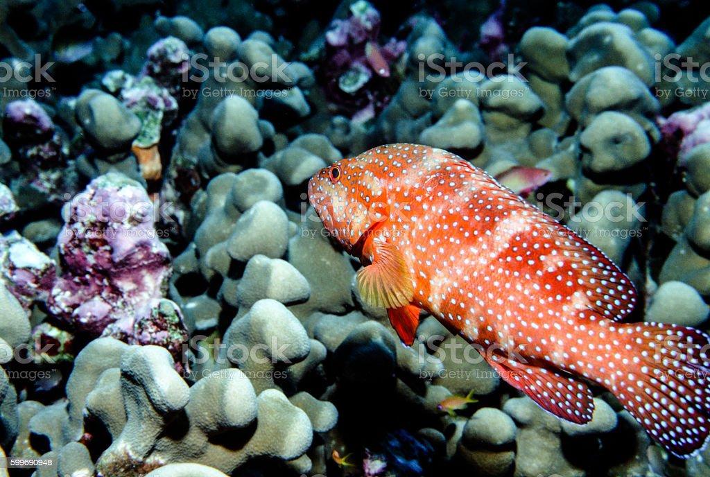 Jewel Grouper - Thailand (portrait) royalty-free stock photo