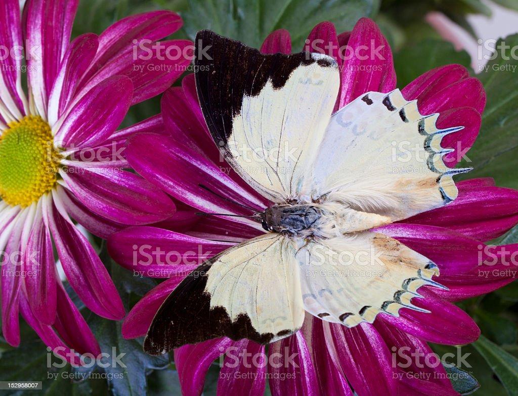 Jewel Nawab Butterfly stock photo