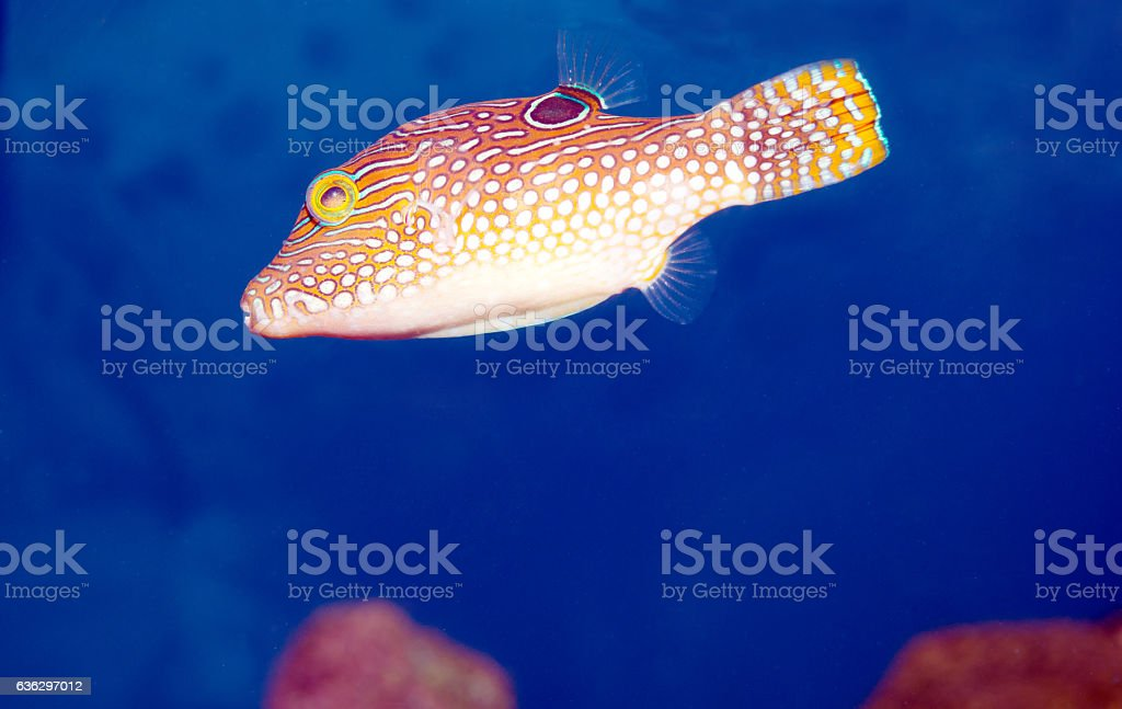 Jewel Puffer Fish stock photo