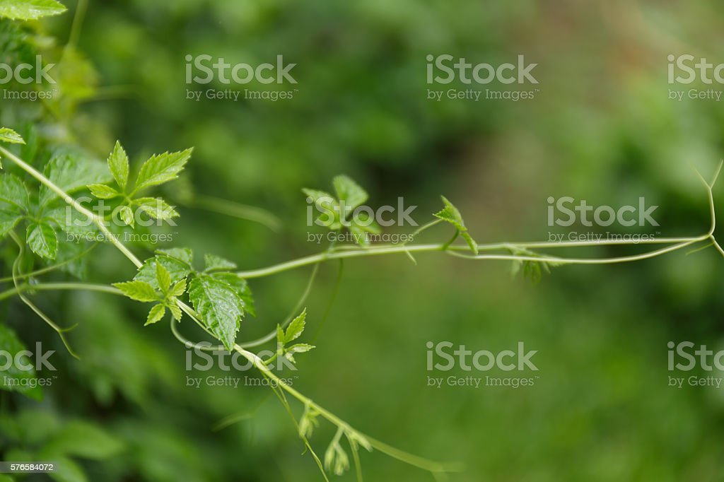 Jiaogulan is called 'China's Immortality Herb stock photo