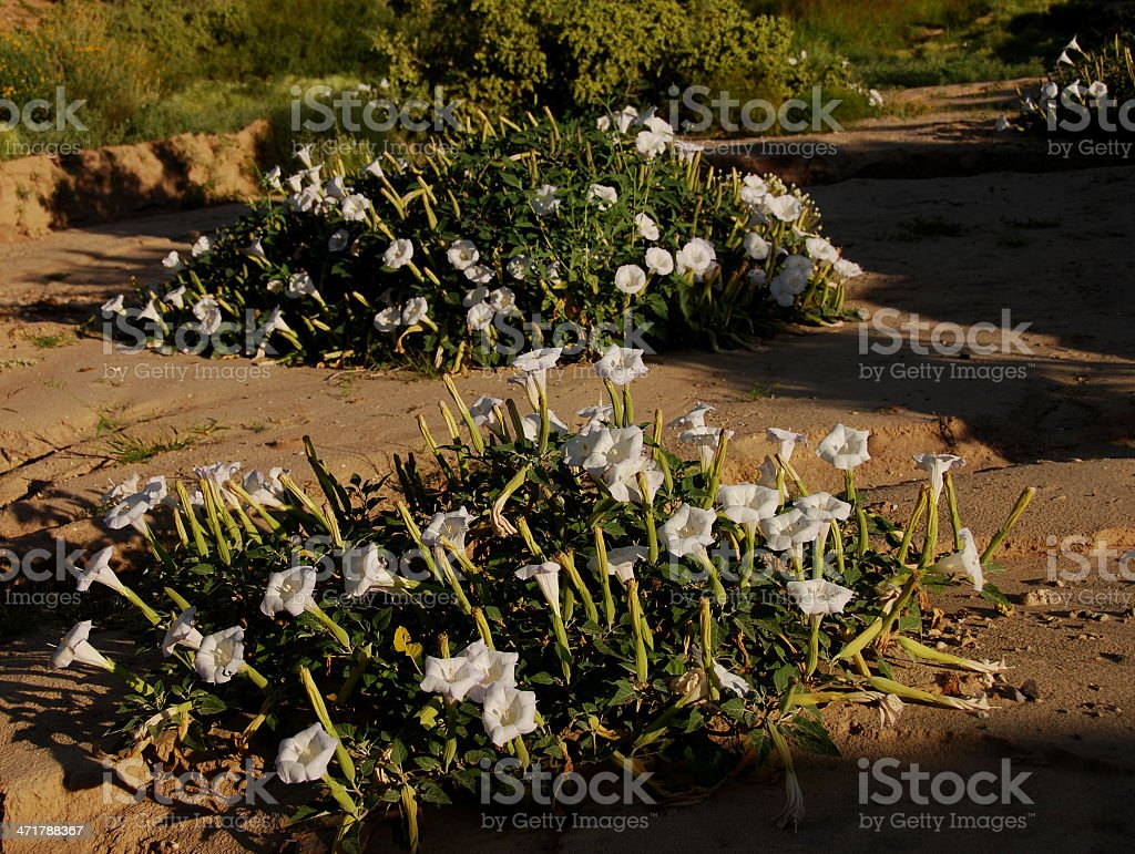 Jimson Weed Blossoming in Arroyo stock photo