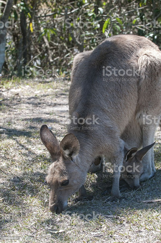 Joey in pouch feeding royalty-free stock photo