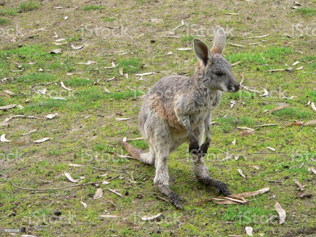 joey red kangaroo stock photo