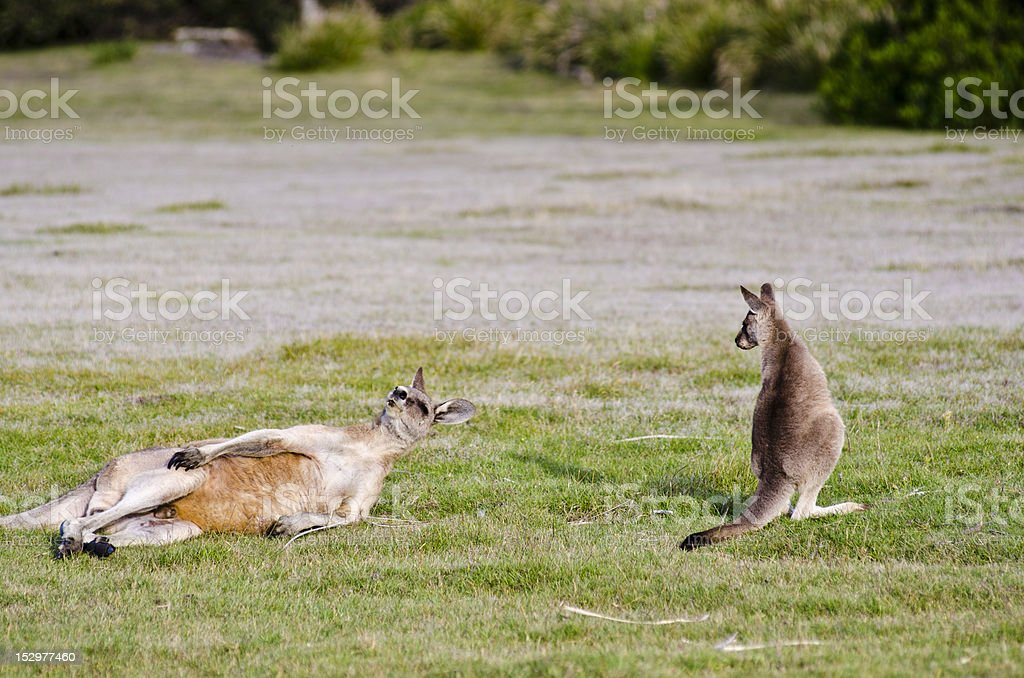 Joey watches while adult kangaroo scratches stock photo