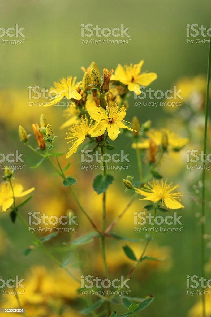 Johanniskraut stock photo