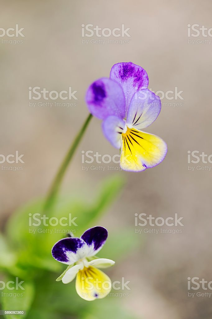 Johnny Jump Up Flowers stock photo