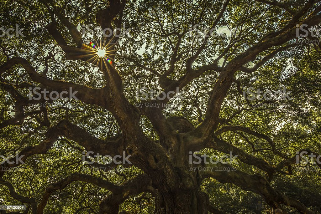 John's Island Angel Oak Tree stock photo