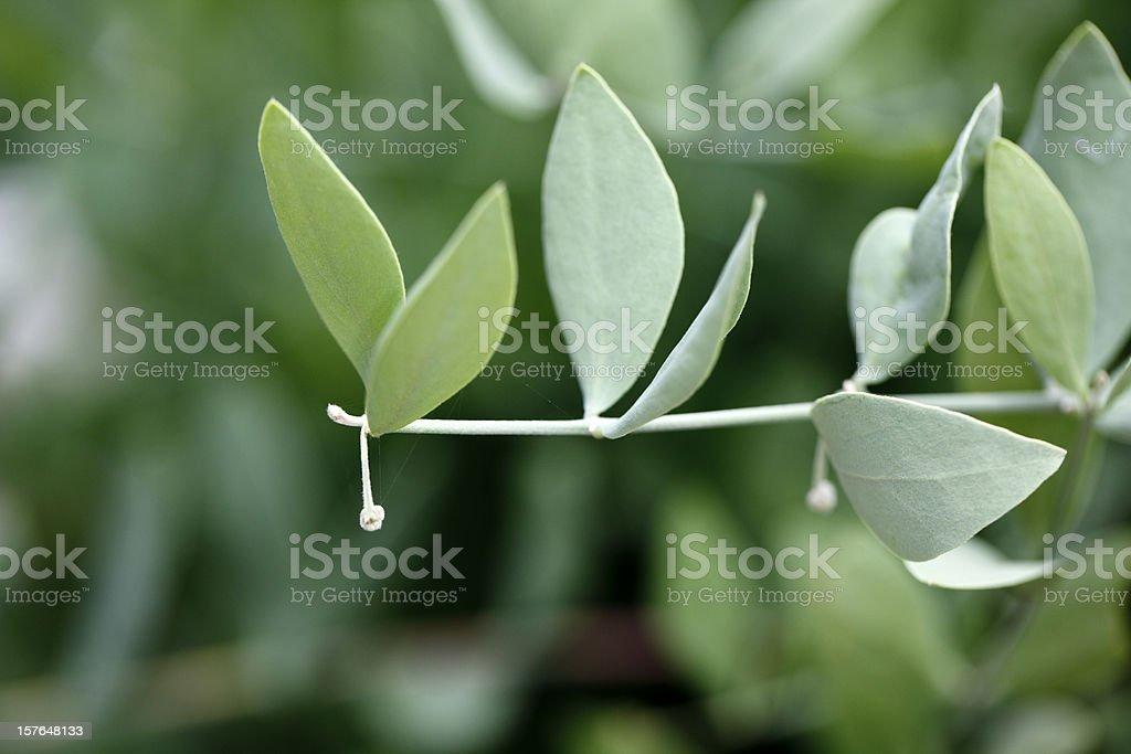 Jojoba (Simmondsia chinensis) royalty-free stock photo