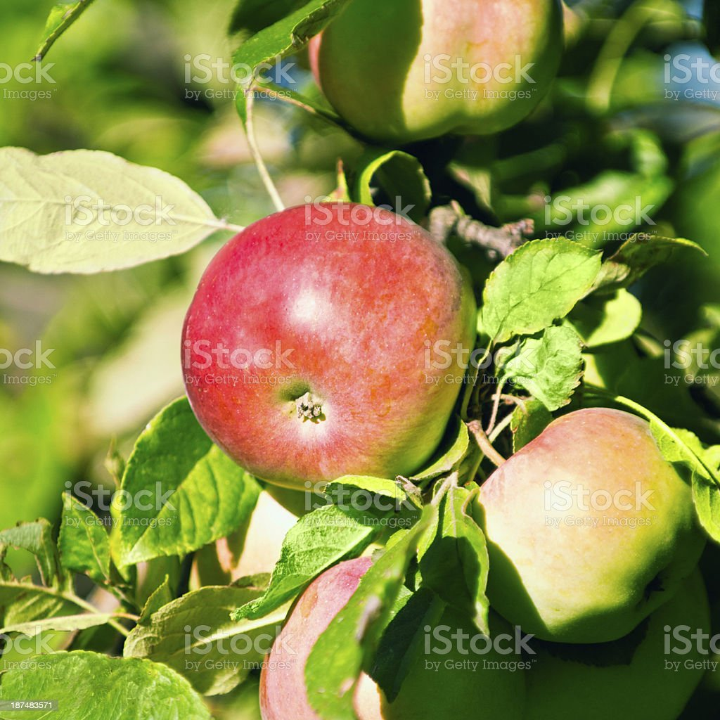 Jonathan Apple stock photo