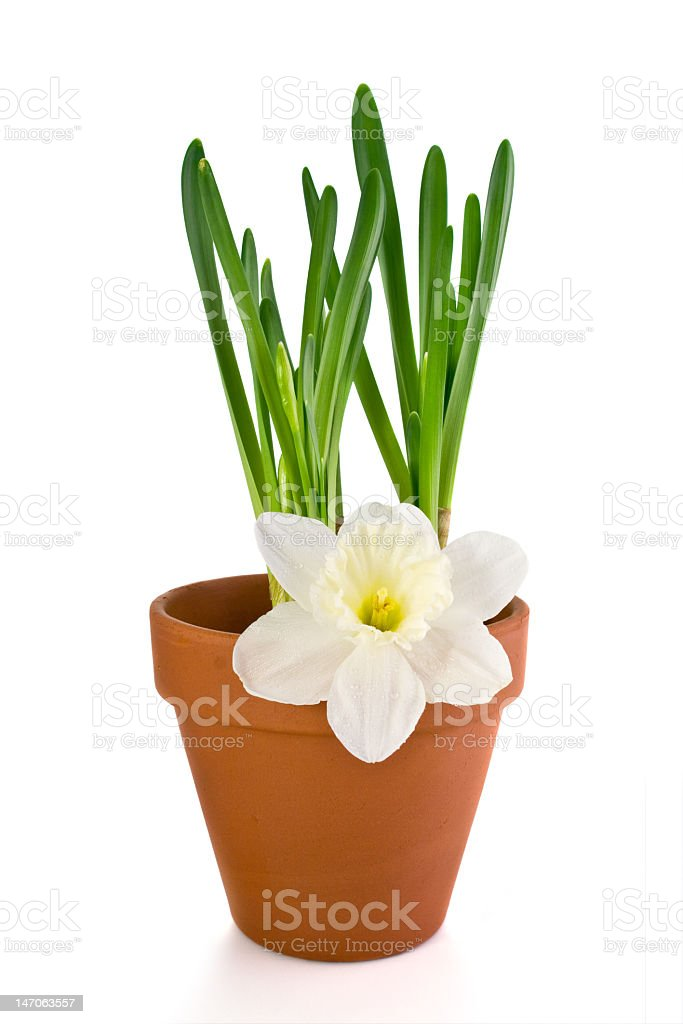 Jonquils saplings in a pot and flower royalty-free stock photo