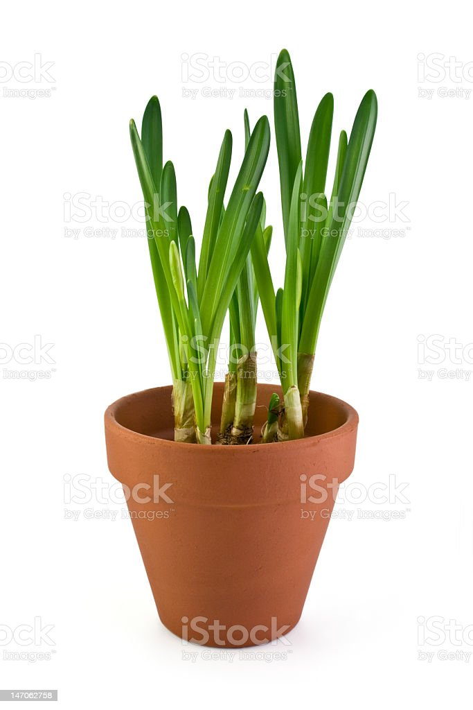 Jonquils saplings in a pot royalty-free stock photo