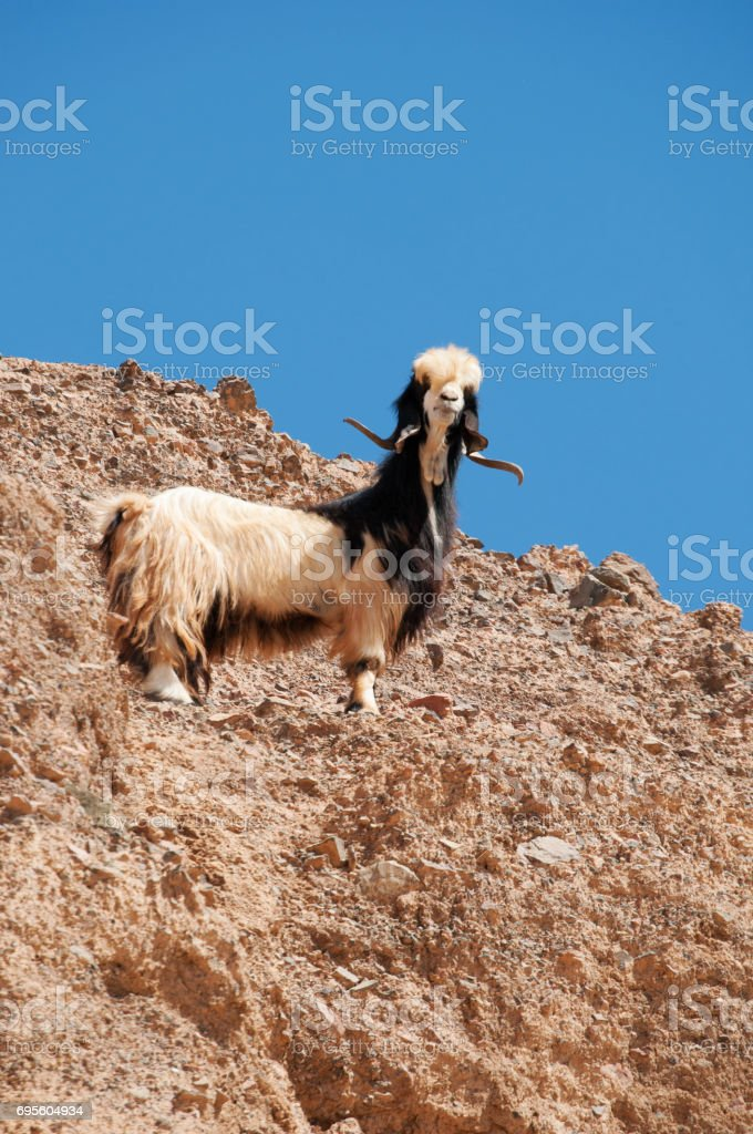 Jordan: a goat on a rock in Dana Biosphere Reserve, the only reserve in Jordan that encompasses different bio-geographical zones, a melting pot of species from Europe, Africa and Asia stock photo