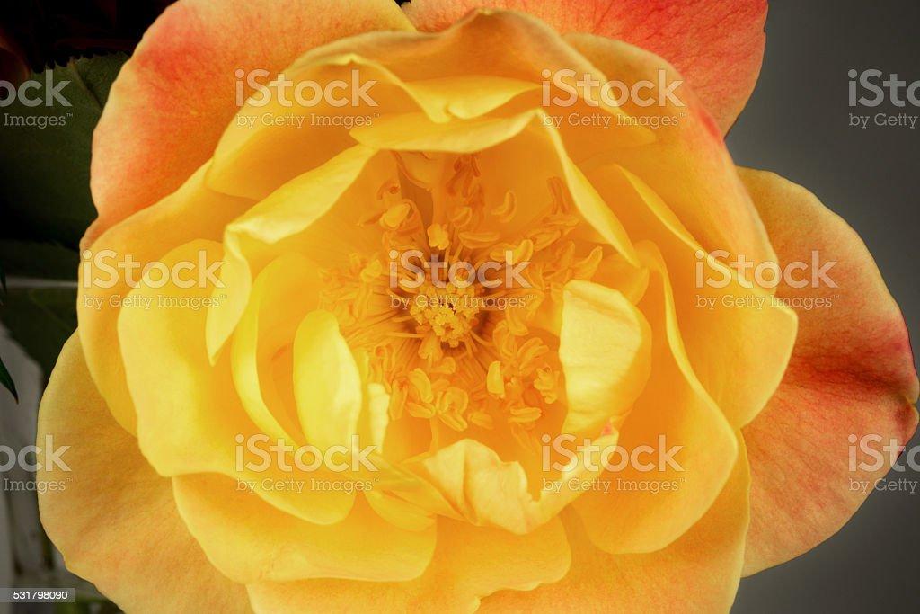 Joseph's Coat Rose Beauty stock photo