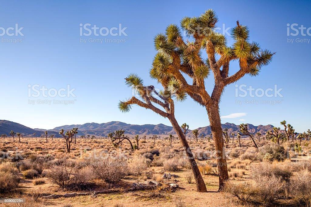Joshua Tree (Yucca brevifolia), Afternoon Sun, Joshua Tree National Park royalty-free stock photo