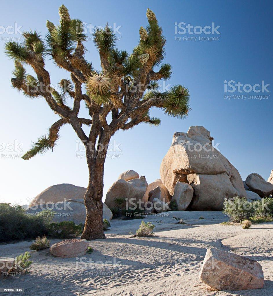 Joshua tree and boulders stock photo
