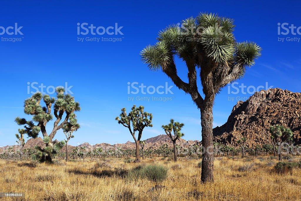 Joshua Tree and Rocks stock photo