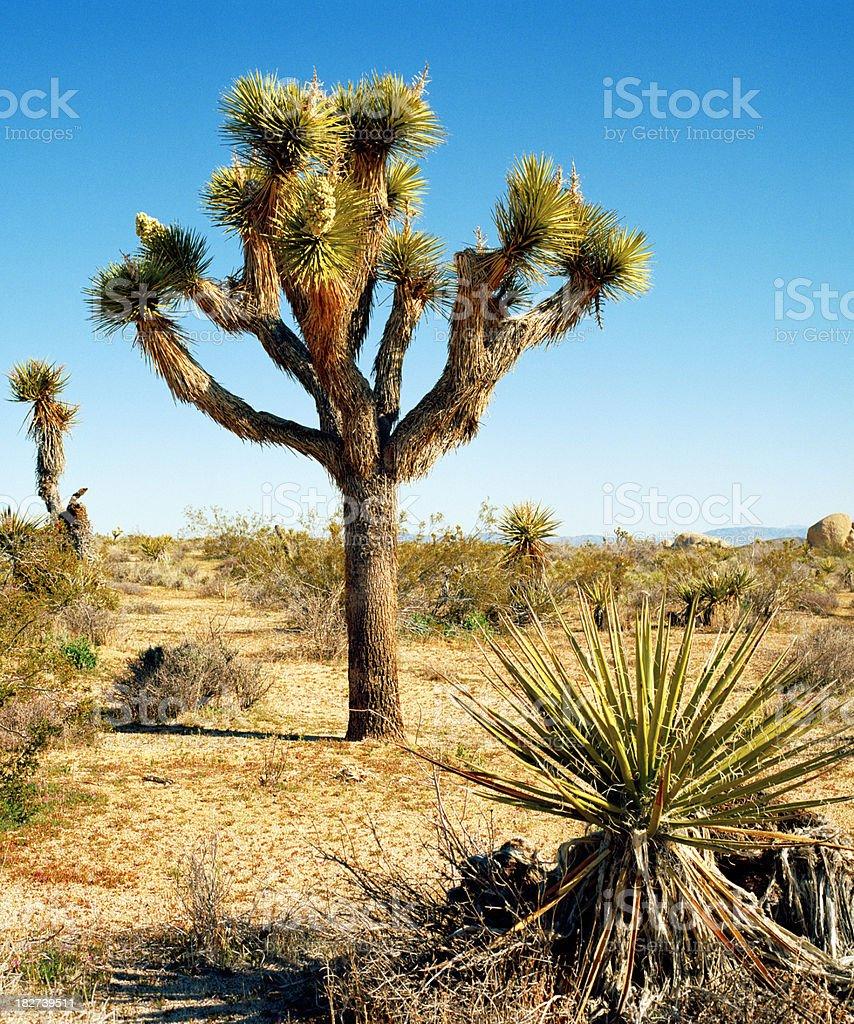 Joshua Tree and Yucca Plant, California stock photo
