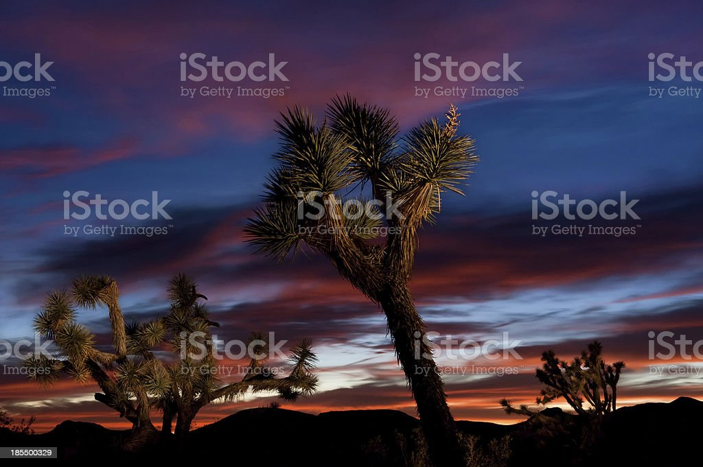 Joshua Tree Forest at Sunset royalty-free stock photo