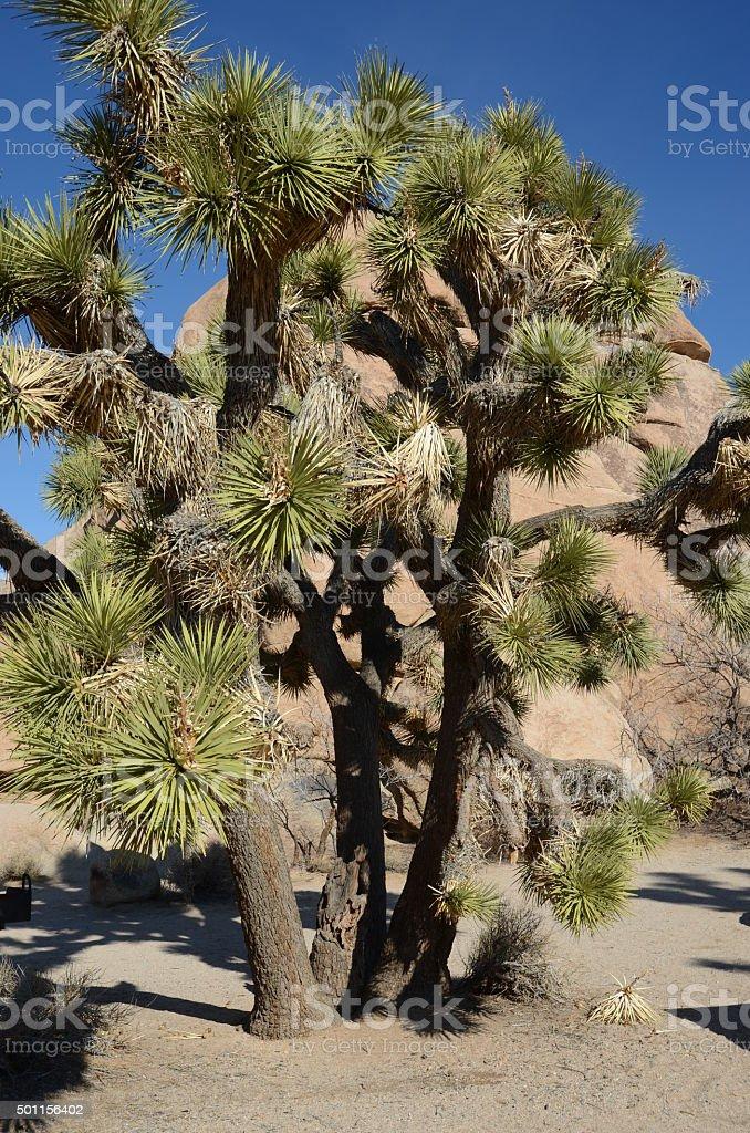 Joshua Tree in Joshua Tree National Park, California royalty-free stock photo