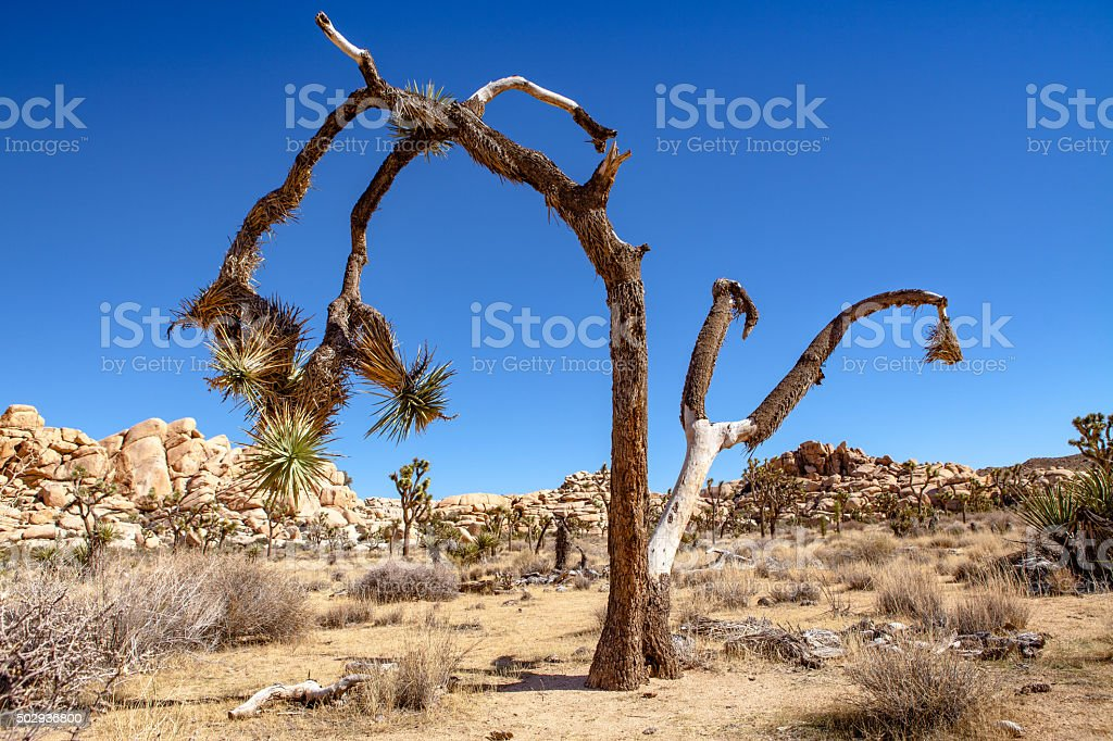 Joshua Tree In Mid-Day Sun, Golden Sand, Desert Brush, Rocks royalty-free stock photo