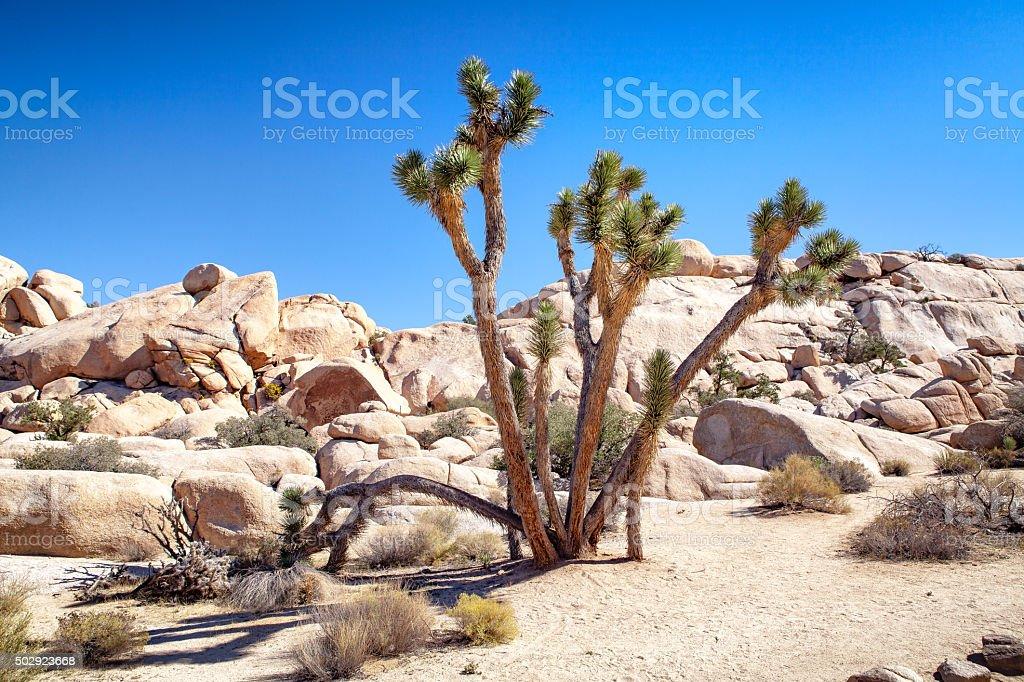 Joshua Tree In Mid-Day Sun, White Sand & Rocks royalty-free stock photo