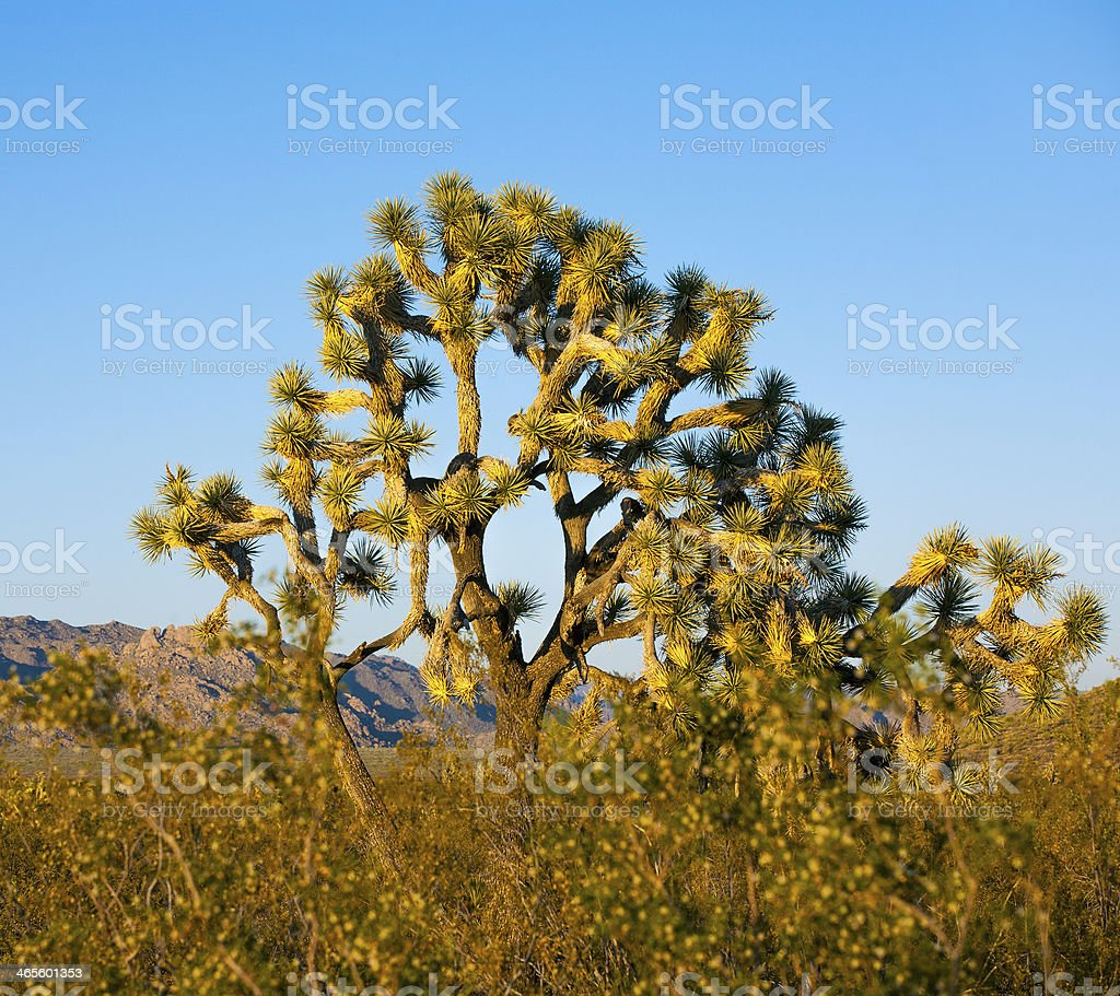 joshua tree in warm bright light royalty-free stock photo