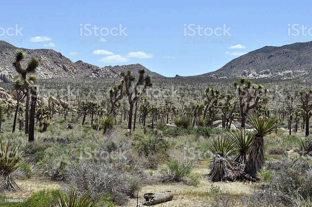Joshua Tree Landscape royalty-free stock photo