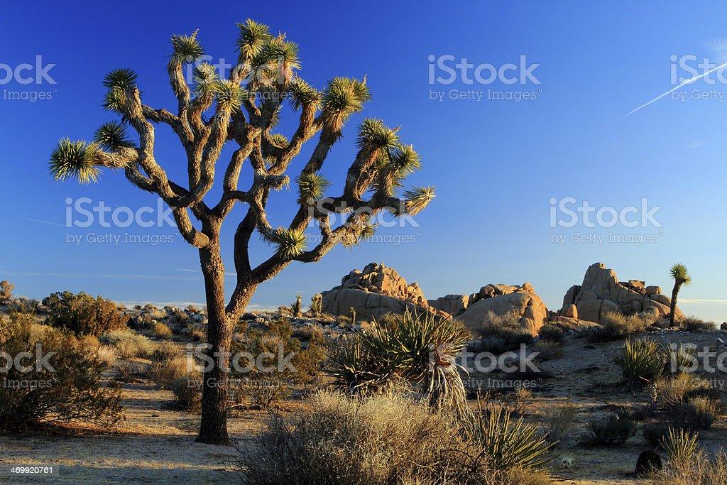Joshua Tree Morning stock photo