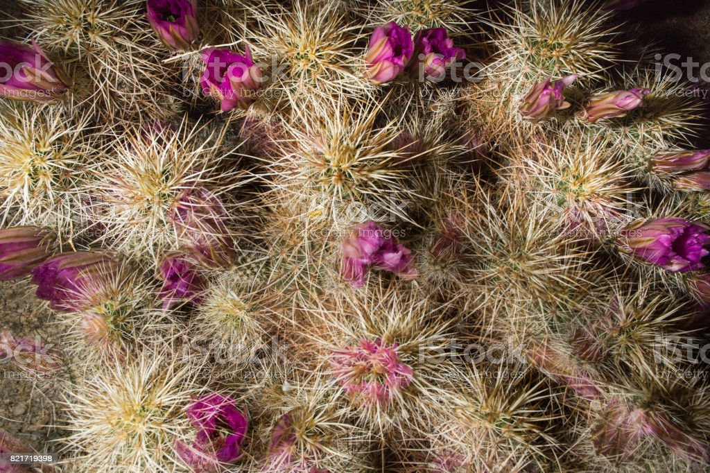 Joshua Tree National Park - Hedgehog Cactus stock photo