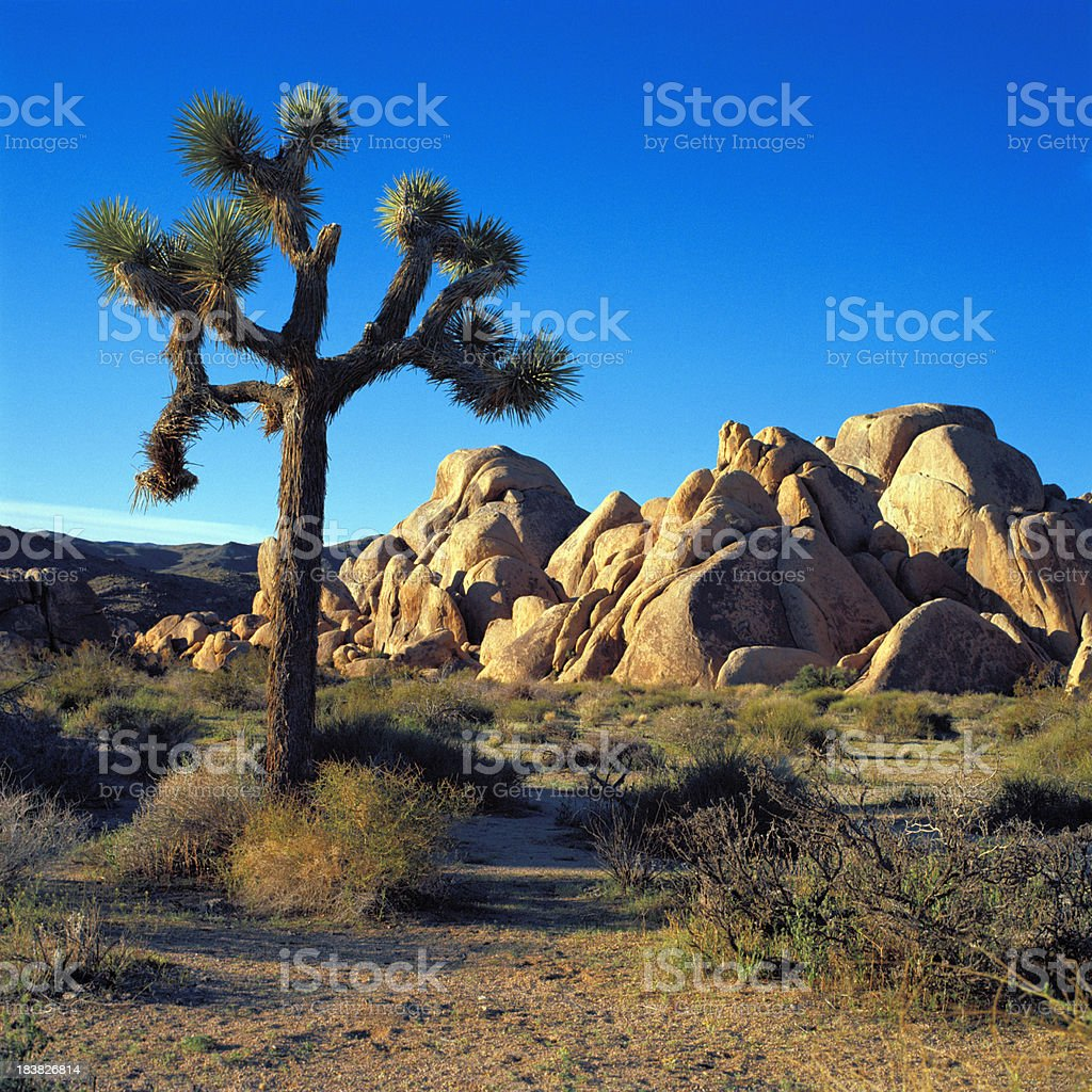 Joshua Tree near Boulder Outcrop, California stock photo