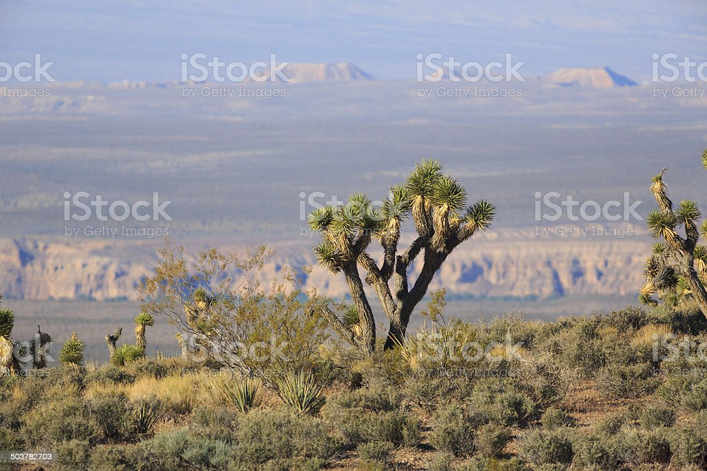 Joshua Tree royalty-free stock photo