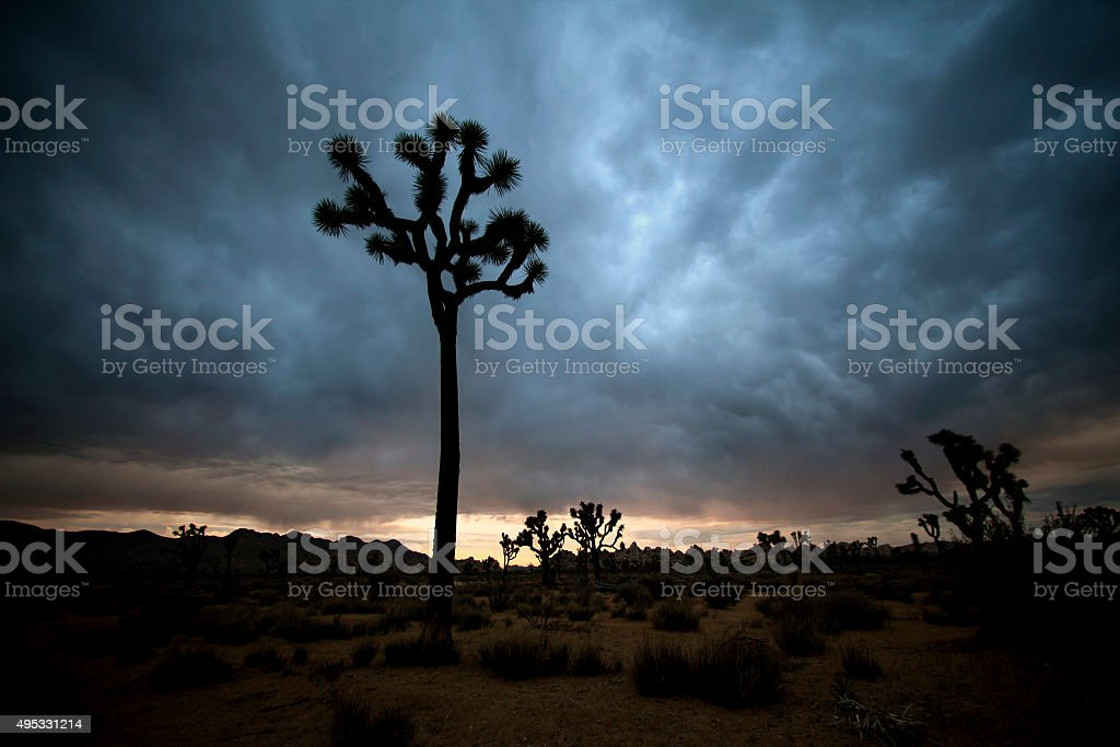 Joshua tree silhouette with storm clouds stock photo