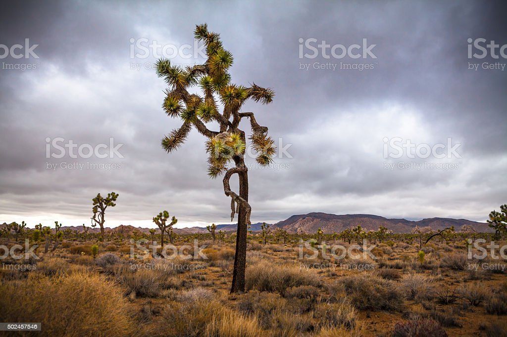 Joshua Tree Silhouetted Against A Post-Storm Cloudy Sky royalty-free stock photo