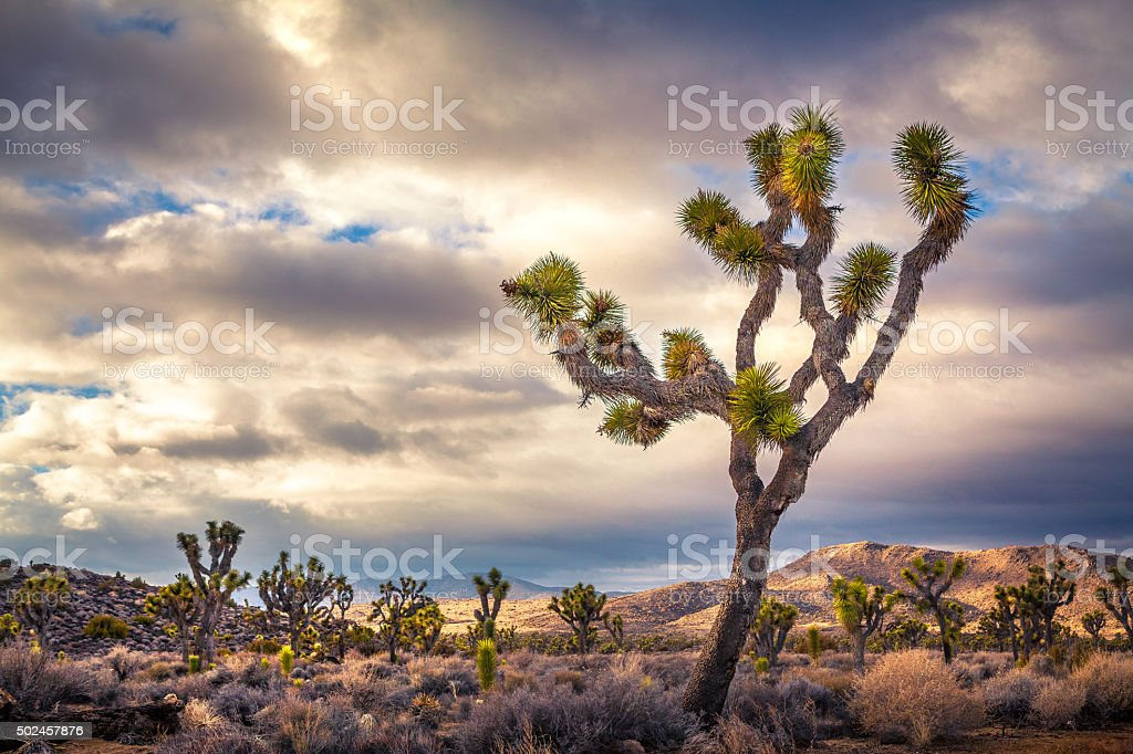 Joshua Tree Silhouetted Against A Post-Storm Golden Hour Sky royalty-free stock photo