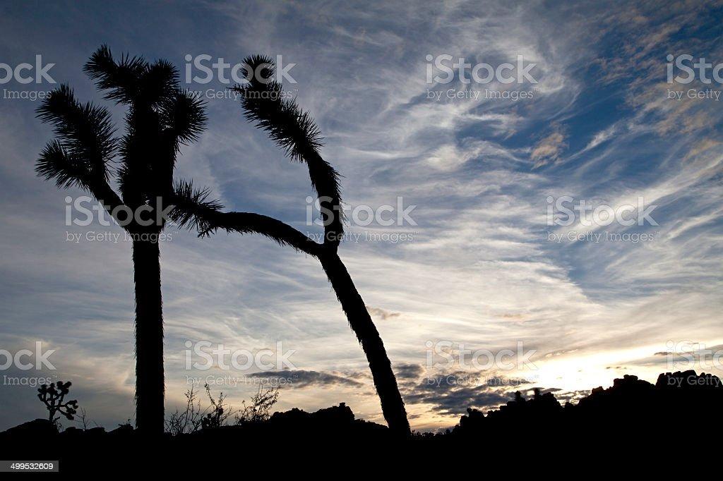 Joshua tree silhouettes and painterly sky, Joshua Tree National Park stock photo