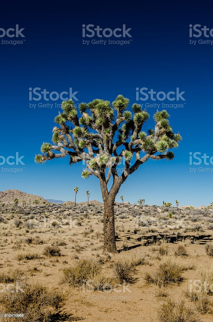 Joshua Tree Standing Alone on Clear Day stock photo