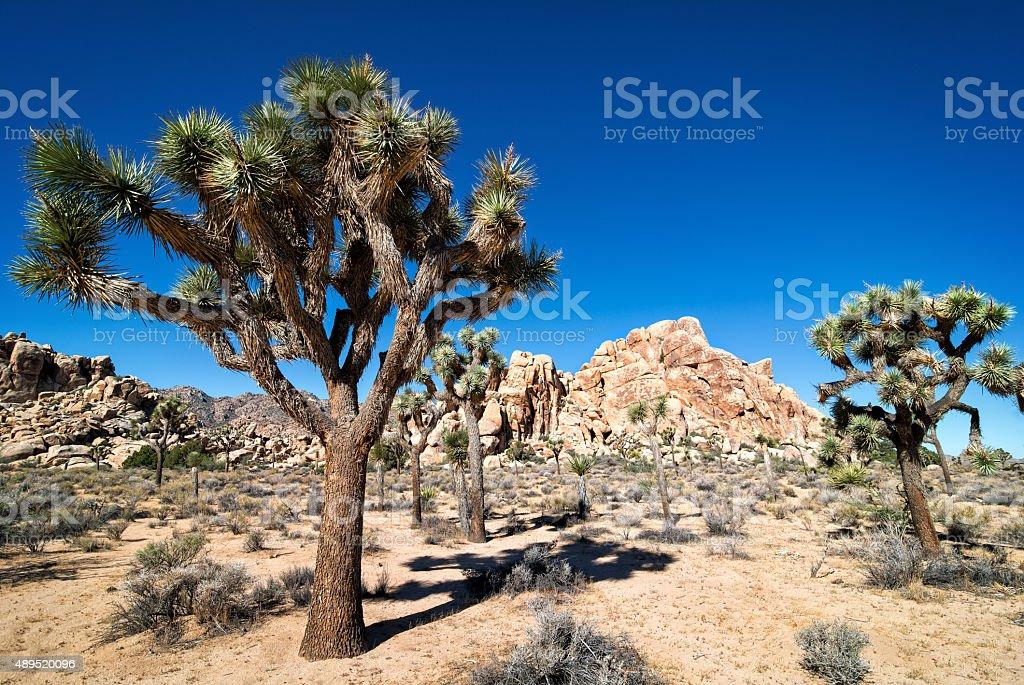 Joshua Trees and Blue Sky stock photo