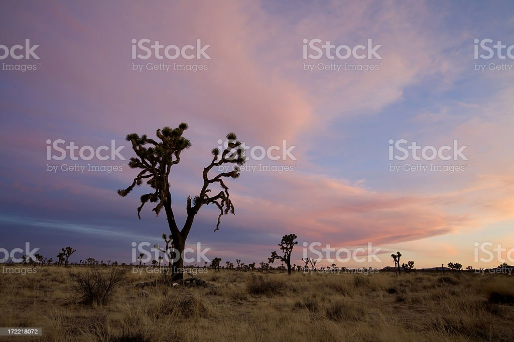 Joshua Trees at Twilight royalty-free stock photo