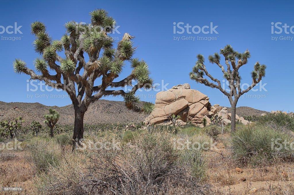 Joshua Trees in desert stock photo