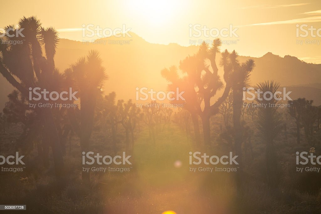 Joshua Trees (Yucca brevifolia), In Golden Haze of Setting Sun royalty-free stock photo