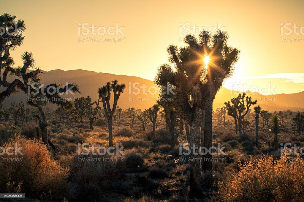 Joshua Trees (Yucca brevifolia), In Golden Haze of Setting Sun stock photo