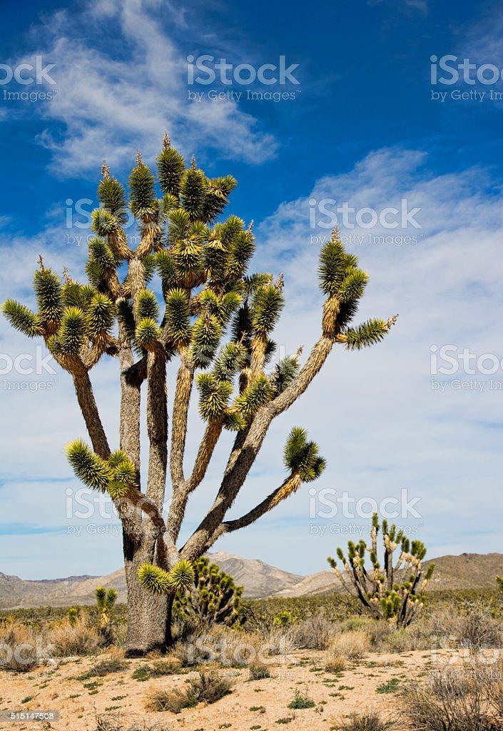 Joshua Trees in Mojave National Preserve stock photo